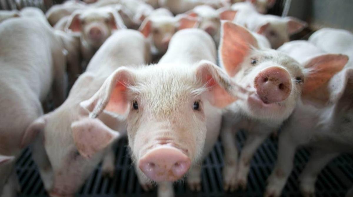swine research